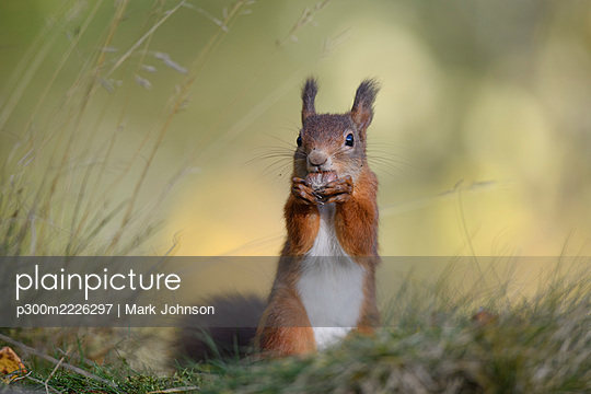 Close-up of red squirrel eating nut on plant - p300m2226297 by Mark Johnson
