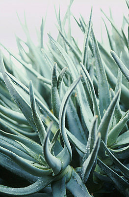 Sword like leaves of silver green Aloes - p3490443 by Jan Baldwin