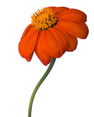 Mexican Sunflower, Tithonia rotundifolia, against White Background - p694m2068552 by Lori Adams