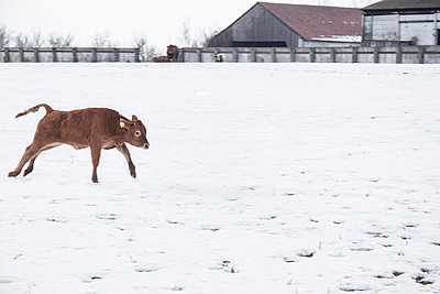 Kühe auf der Weide im Schnee - p739m779157 von Baertels