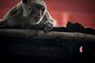 Monkey on a roof - p1007m1144391 by Tilby Vattard