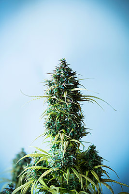 Cannabis - p1149m2182395 by Yvonne Röder