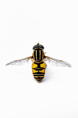 Hoverfly - p1228m2297177 by Benjamin Harte