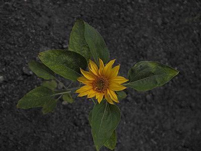 Sunflower - p444m960697 by Müggenburg