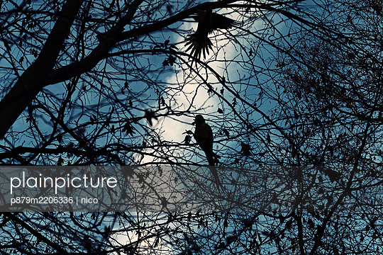 Two birds in a tree - p879m2206336 by nico
