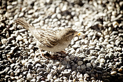 Sparrow on the ground - p586m727513 by Kniel Synnatzschke