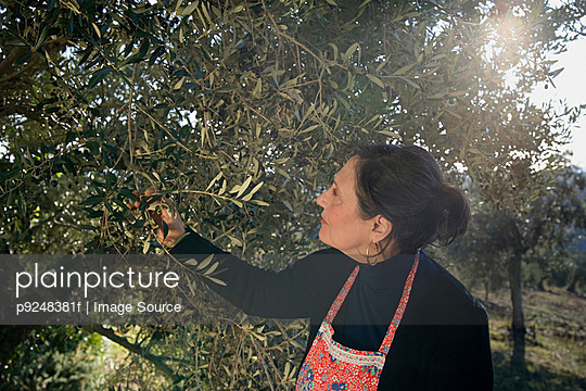 Mature woman picking olives - p9248381f by Image Source