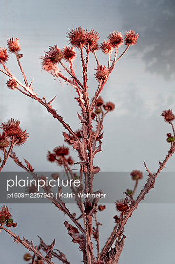 Thistles and Maple tree - p1609m2257943 by Katrin Wolfmeier