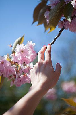 Cherry tree branch - p045m1149713 by Jasmin Sander