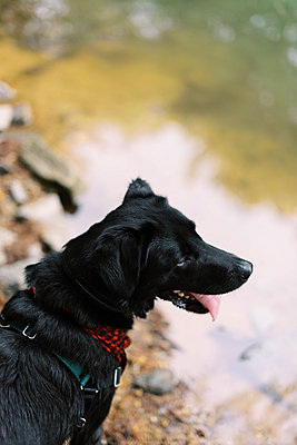 Portrait of a black lab looking at the water. - p1166m2151848 by Cavan Images