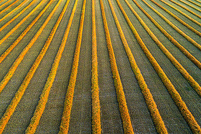Aerial views of canola harvest lines glowing at sunset; Blackie, Alberta, Canada - p442m1580437 by Michael Interisano