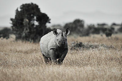Portrait of rhinoceros, Kenya - p706m2158445 by Markus Tollhopf