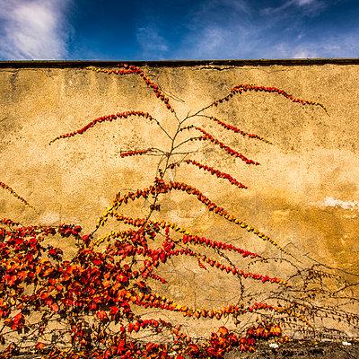 Climbing plant - p813m1082915 by B.Jaubert