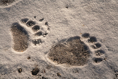 Grizzly Bear front and back paw prints - p884m864124 by Matthias Breiter