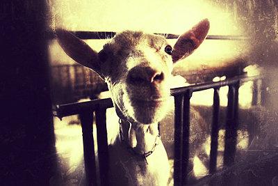 Goat - p586m780688 by Kniel Synnatzschke