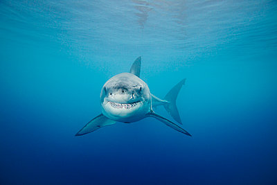 Mexico, Guadalupe Island Offshore, Great White Shark (Carcharodon Carcharias) In Deep Ocean Water, View From Front. - p442m934872 by Dave Fleetham