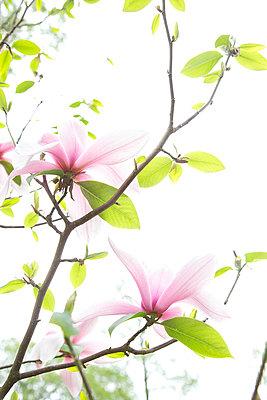Zarte Magnolienblüten - p606m900694 von Iris Friedrich