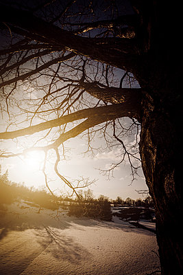 Winter snow covered landscape with tree silhouette and sun flare - p968m952949 by roberto pastrovicchio