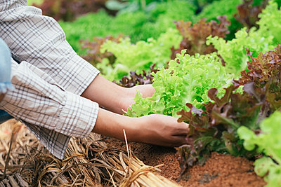 Farmer picking fresh organic vegetables form garden. - p1166m2138056 by Cavan Images