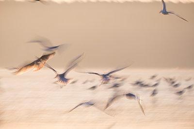 Seagulls in flight - p739m1541095 by Baertels