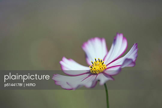 White and purple cosmos flower