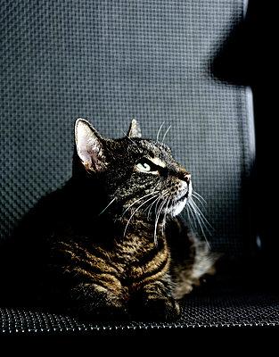 Ängstliche Katze auf einem Stuhl - p1221m1045055 von Frank Lothar Lange
