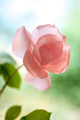 Pink rose - p971m916366 by Reilika Landen
