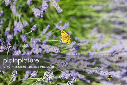 Schmetterlink auf Lavendel - p1491m1582666 von Jessica Prautzsch