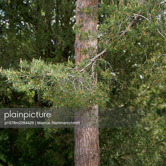 Kiefer mit Ästen - p1578m2284429 von Marcus Hammerschmitt