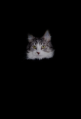 Head of cat against black background - p1279m1355602 by Ulrike Piringer