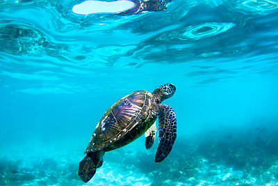 Underwater View Of Hawaiian Sea Turtles In Their Habitat In Hawaii - p343m1203862 by Sean Davey