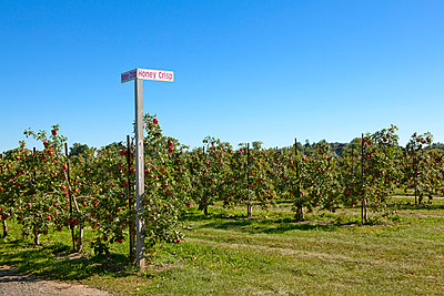 Agriculture, Dwarf Honey Crisp apple orchard with mature fruit ready for harvest, near Fennville, Michigan, USA. - p442m936650f by Marianne Lee