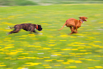 Two dogs running - p739m1016849 by Baertels