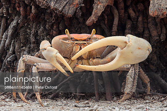 Blue Land Crab  male, Banco Chinchorro, Yucatan Peninsula, Mexico - p884m1145469 by Pete Oxford