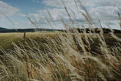 Grasses in the wind - p1184m1222860 by brabanski