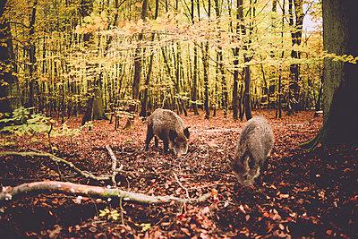 Zwei Wildschweine auf Futtersuche  - p1267m1514218 von Wolf Meier