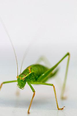Grasshopper - p739m931403 by Baertels