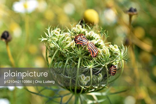 Striped shieldbugs - p1210m2110984 by Ono Ludwig