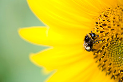 Extreme close-up of a bumblebee on a cropped sunflower - p1025m780258f by Björn Andrén