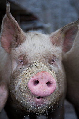 Schwein, Close-Up - p922m2071468 von Juliette Chretien