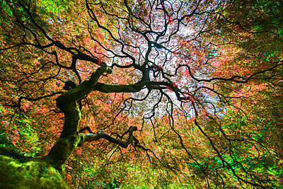Low angle view of Japanese Maple during autumn - p1166m1489303 by Cavan Images