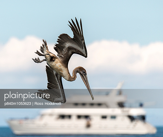 Brown pelican  diving for fish with the Athala II boat in the background, Espumilla beach, Galapagos, Ecuador. April. - p840m1053623 by Ross Hoddinott