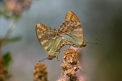 Silver-washer fritillary butterfly pair mating - p1251m1194943 by Heikki Tabell