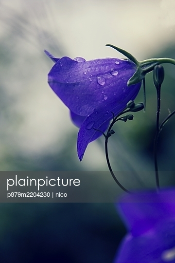 Waterdrops on bellflower, close-up - p879m2204230 by nico