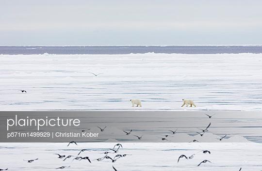 plainpicture | Photo library for authentic images - plainpicture p871m1499929 - Polar bear (Ursus maritimus... - plainpicture/robertharding/Christian Kober