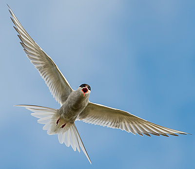 Iceland, Arctic Tern, Sterna paradisaea, flying - p300m950016f by Markus Kapferer