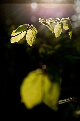 Luminous spring leaves of a Beech tree - p533m1573828 by Böhm Monika