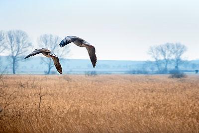Zwei Wildgänse im Flug - p739m1128973 von Baertels