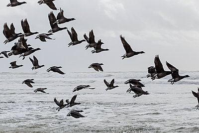 Migratory birds on the coast  - p910m1159381 by Philippe Lesprit