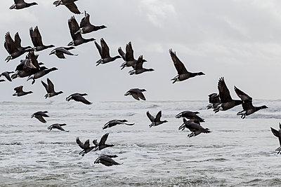 Zugvögel an der Küste - p910m1159381 von Philippe Lesprit